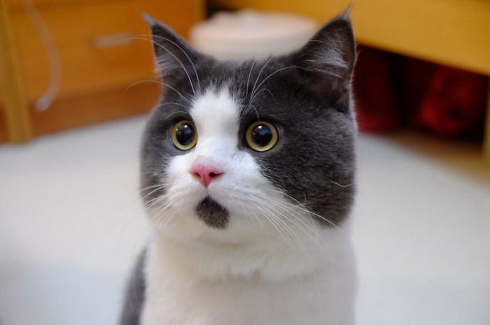 Вечно удивленный котик Банье
