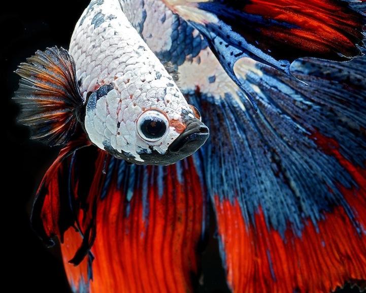 Рыбка-петушок или бойцовская рыбка: фото Visarute Angkatavanich