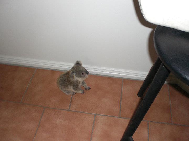 Малыш коалы по имени Джимми, которого спасли