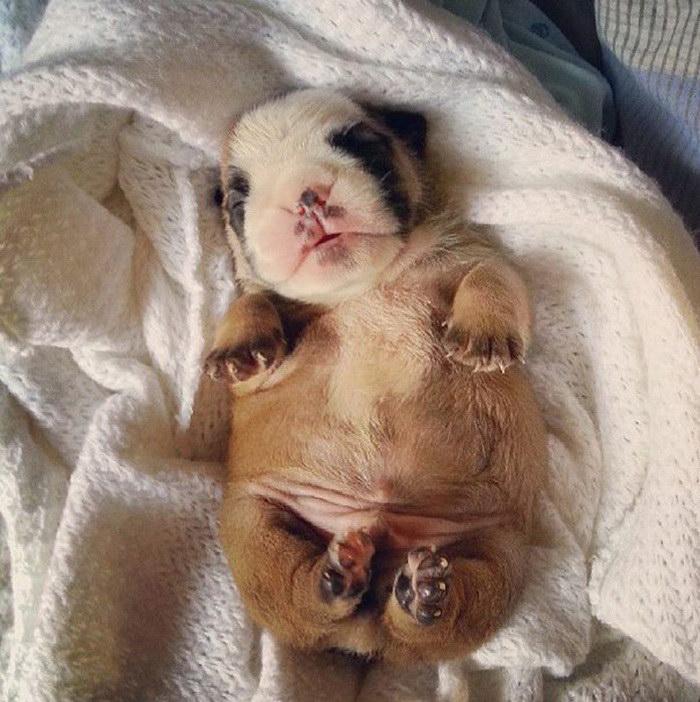 25 очаровательных малышей-бульдогов