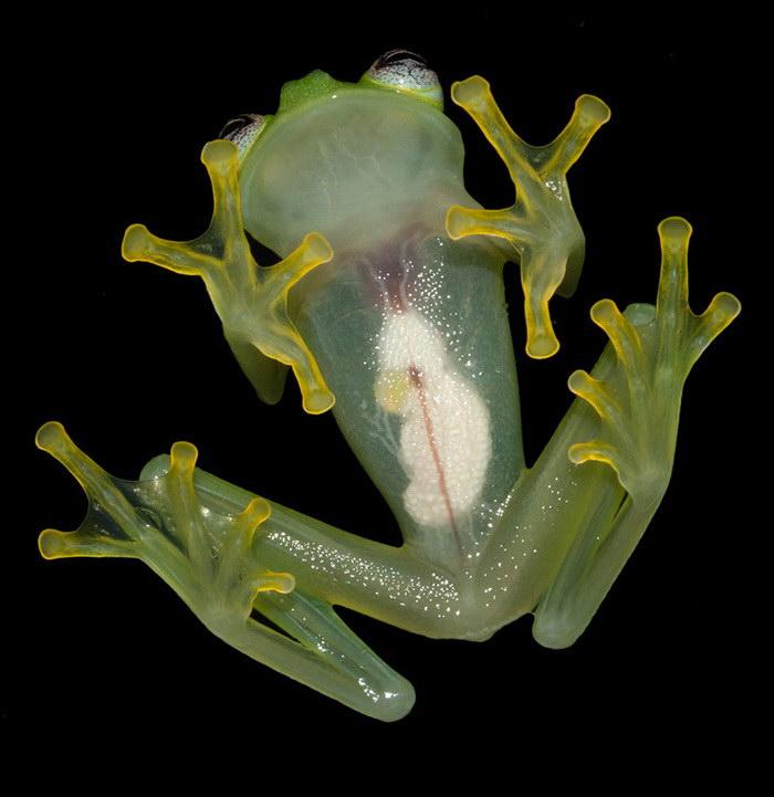 Прототип лягушонка Кермита найден