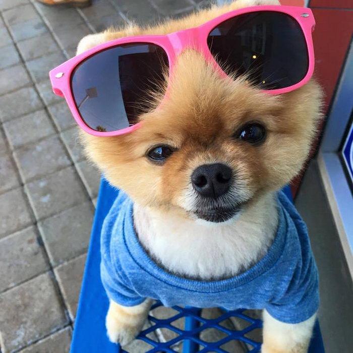Джифф: померанский шпиц и лучшая модель среди собак