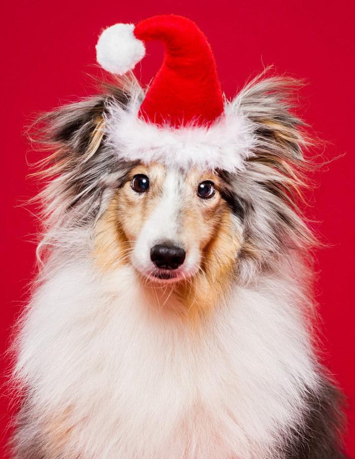 Новогодние собачки в фотографиях Oszkár Dániel Gáti