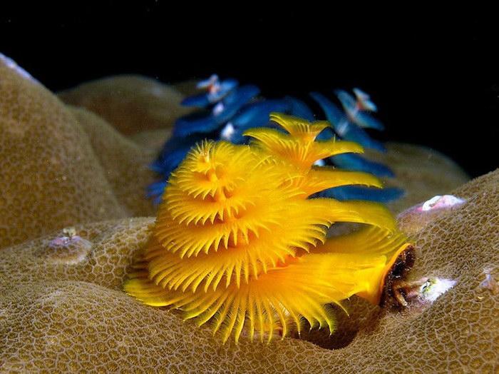 Необычные подводные существа, напоминающие новогодние елочки