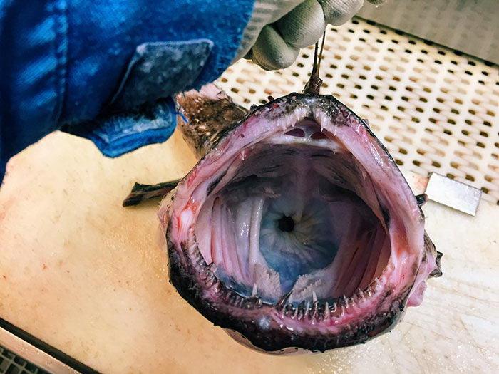 Жуткие рыбы вод Мурманска: фото Романа Федорцова