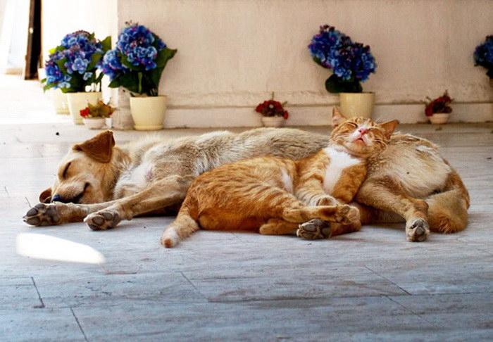 25 кошек, которые используют собак как подушки