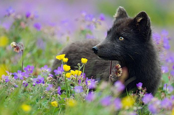 Такие красивые и необычные черные лисы