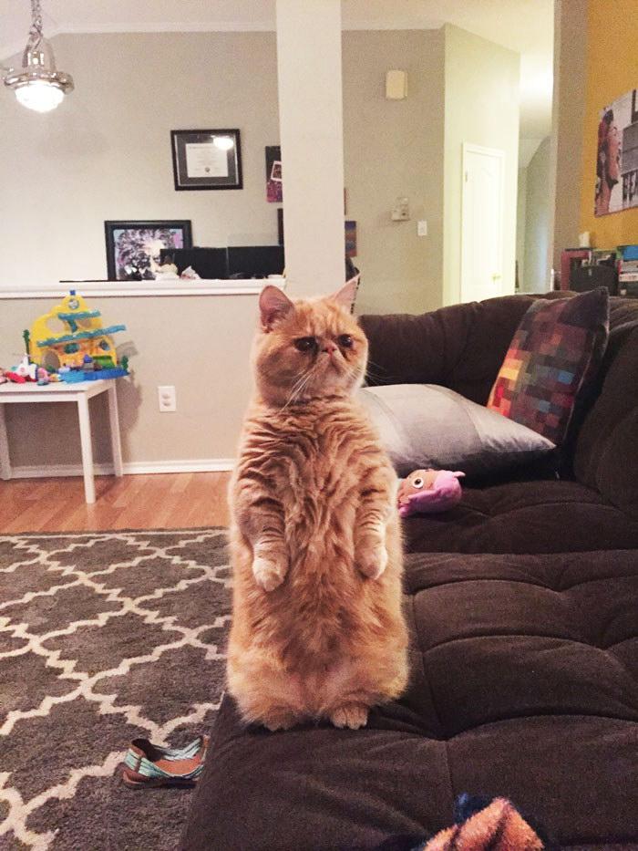 Кот по имени Джордж, который предпочитает стоять на двух ногах