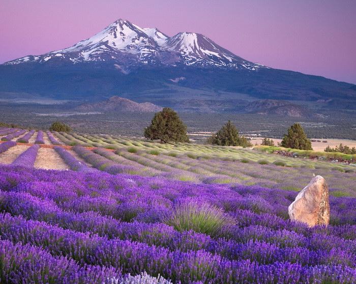 Цветущая лаванда: самое красивое зрелище на планете