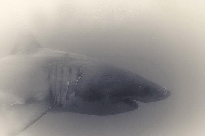 Акулы в фотографиях Antti Viitala