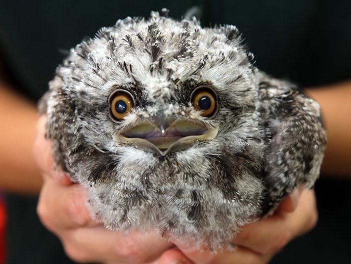 Дымчатый лягушкорот: самая милая птичка на планете Земля