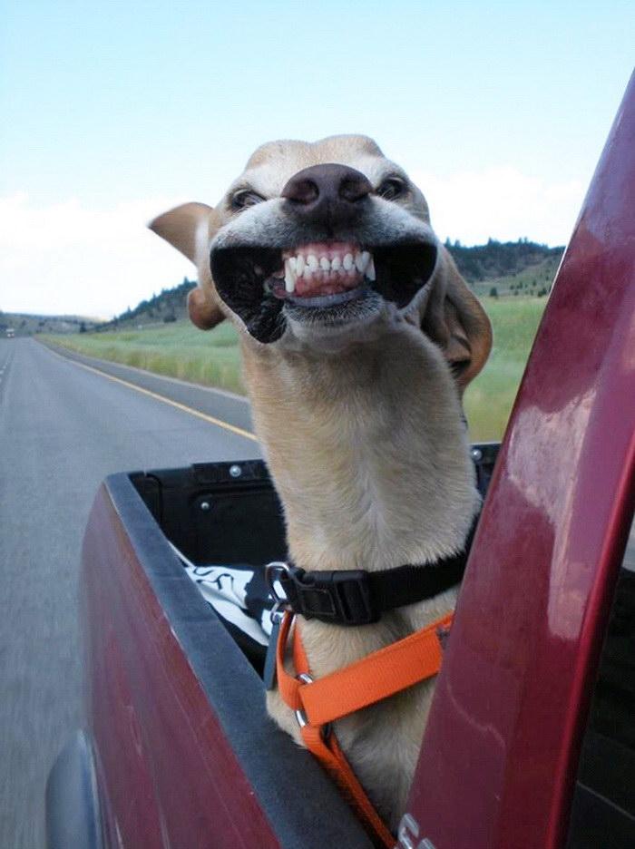 15 собак, которые любят прогуляться с ветерком