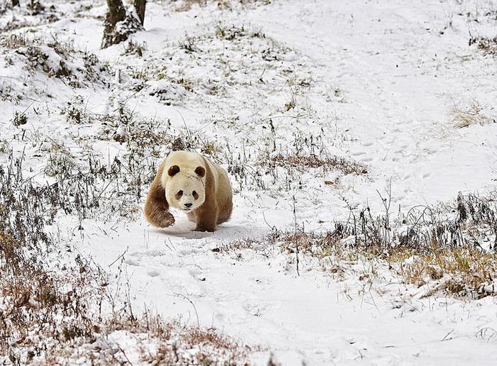 Коричневая панда Qizai: единственная в своем роде