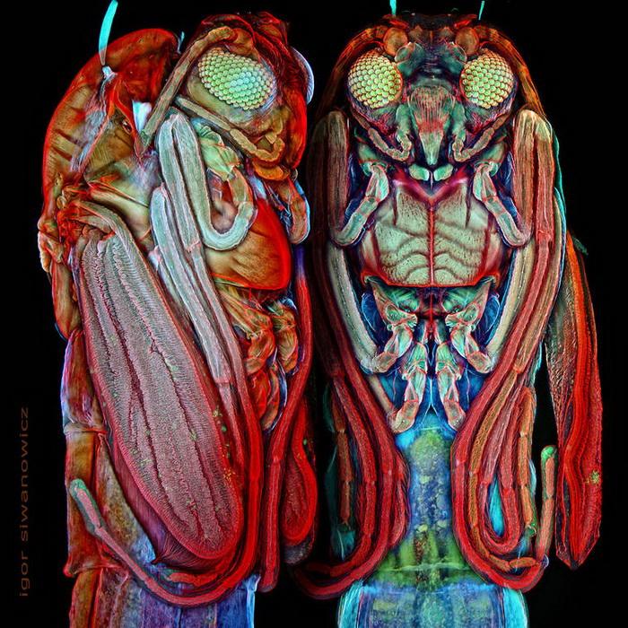 Фотографии насекомых Igor Siwanowicz через лазерный сканирующий микроскоп