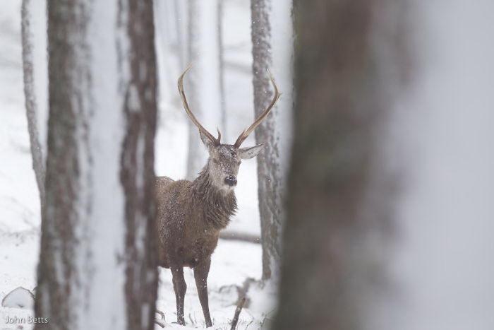 Чудесные олени в зимнем парке John Betts