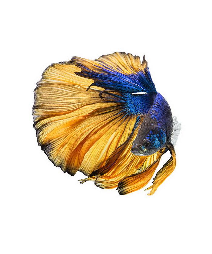 Рыбка-петушок в фотографиях Andi Halil