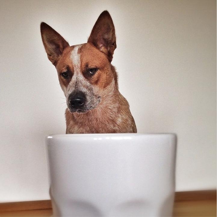 Собачки в чашках в фотографиях Emily McCracken
