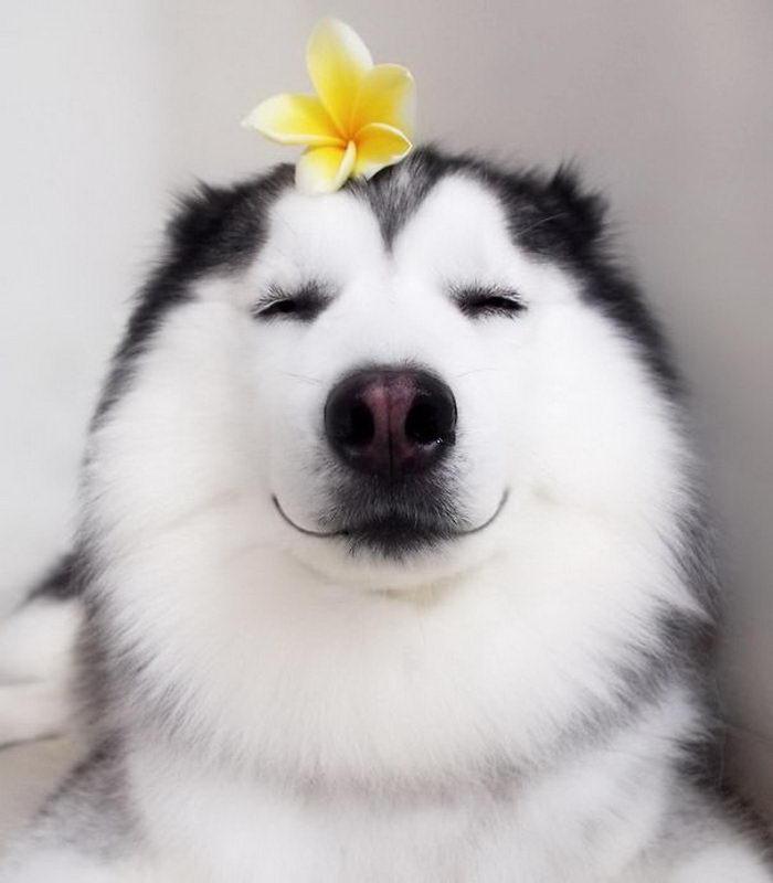 Мару: счастливейшая хаски на Земле
