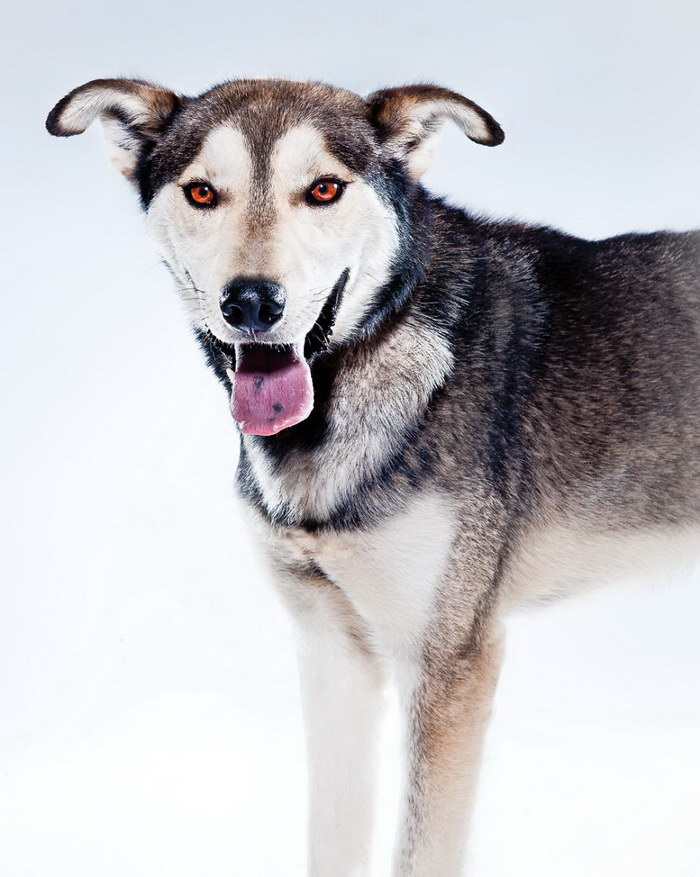 Ездовые собаки в фотографиях Albert Lewis