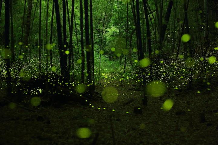 Светлячки в лесу: фотографии Yume Cyan