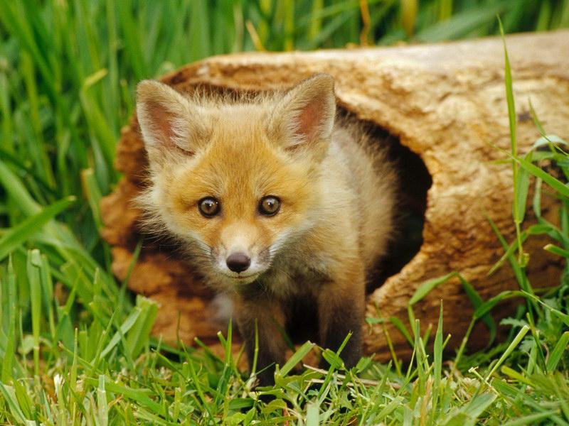 Лисы — самые яркие и хитрые животные на планете