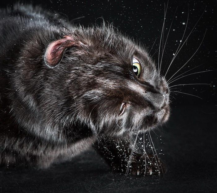 Отряхивающиеся кошки в фотографиях Carli Davidson