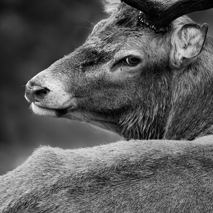 Волшебные олени в Ричмонд-парке Лондона