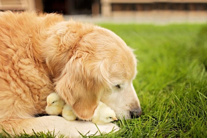Собака по имени Шамп и цыплята