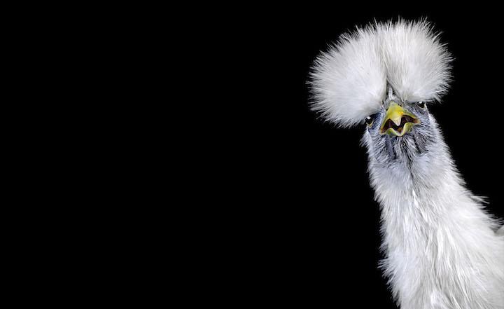 Грациозные петухи в фотографиях Ernest Goh