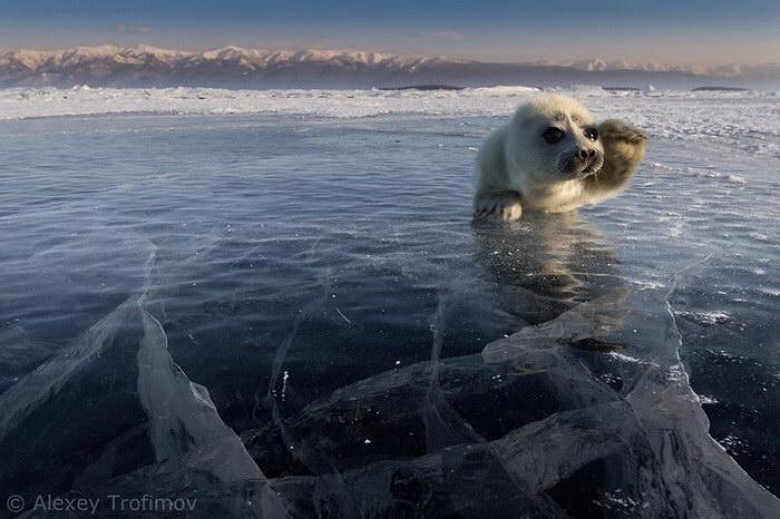 Очаровательный белёк в фотографиях Алексея Трофимова