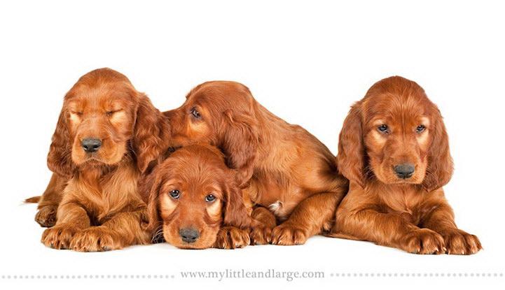 6-недельные щенки