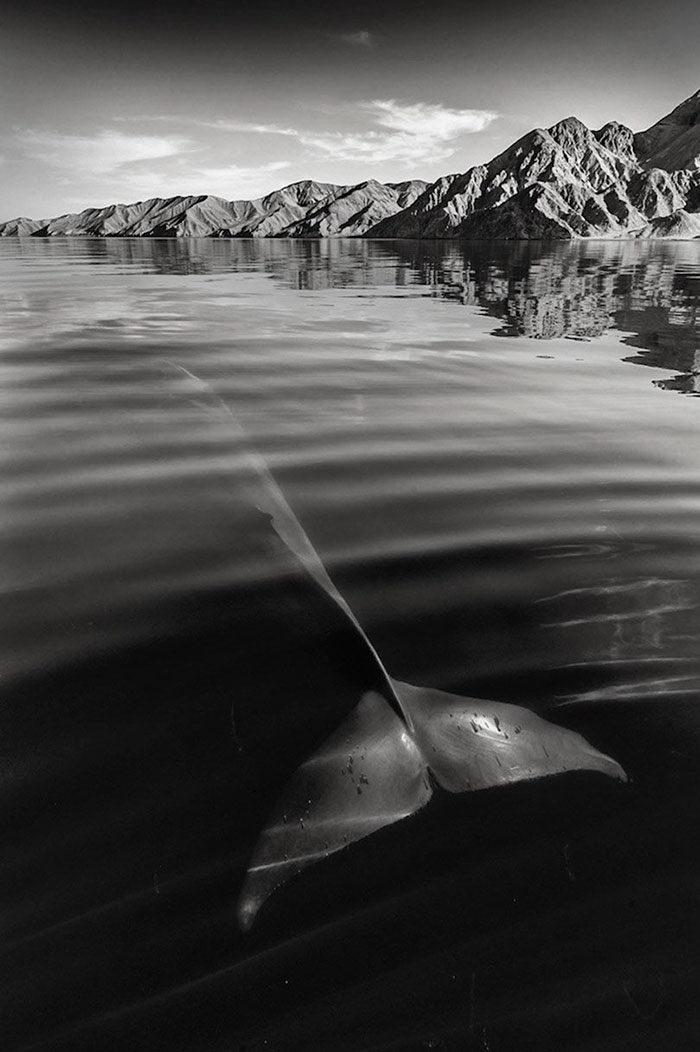 Киты глубоких морей в фотографиях Christopher Swann
