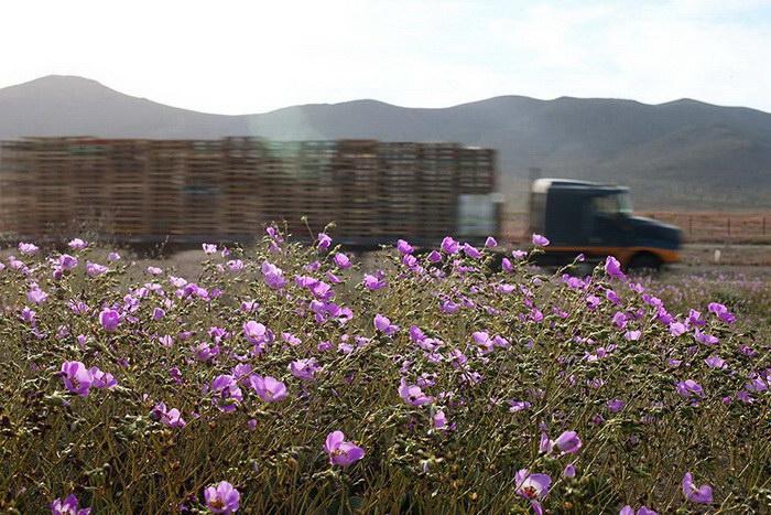 Цветущая пустыня Атакама
