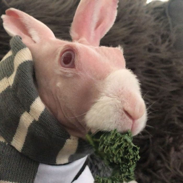 Знакомьтесь: лысый кролик Mr. Bigglesworth