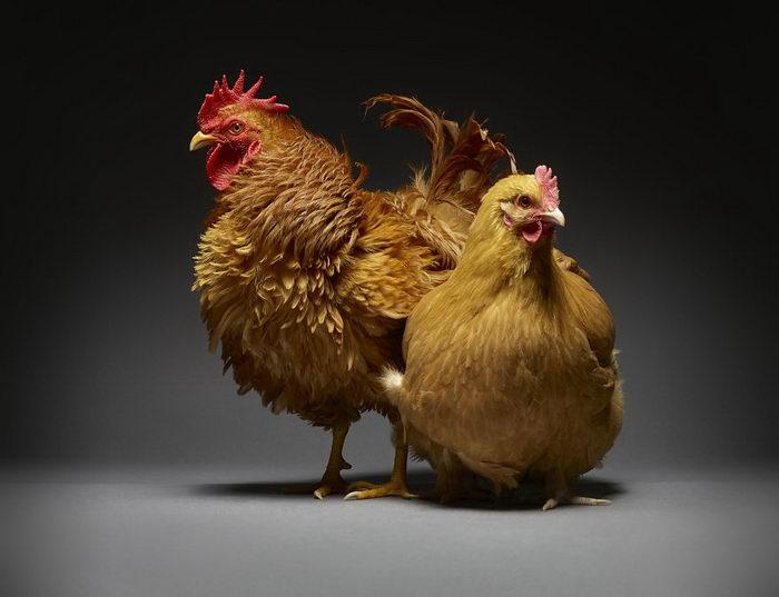 Любовь петухов и курочек: снимки Moreno Monti