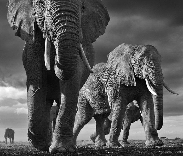 Elephants black and white tumblr
