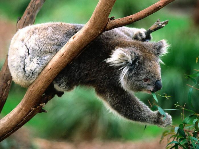 10 фактов о коалах