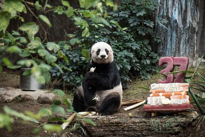 Старейшей в мире панде — 37 лет!