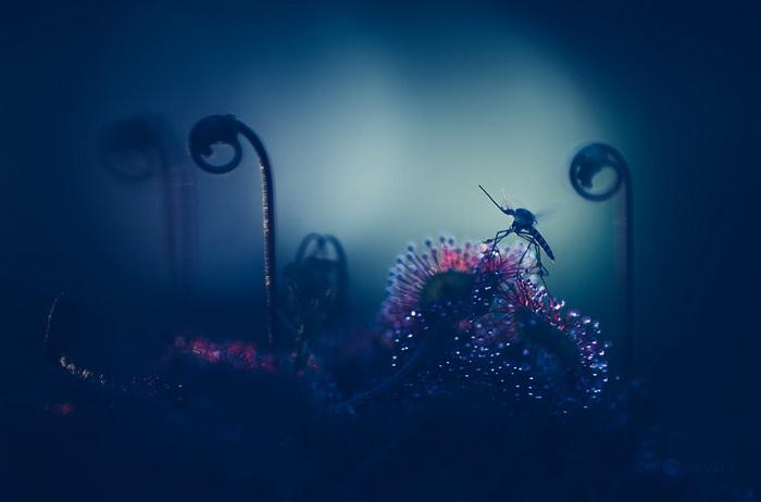 Росянка в фотографиях Joni Niemel?
